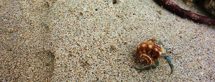 hermit crab costa rica
