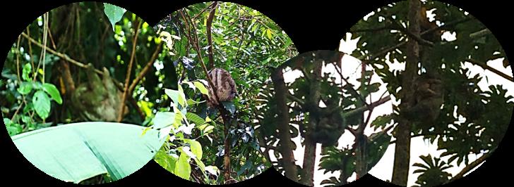 sloths in la fortuna