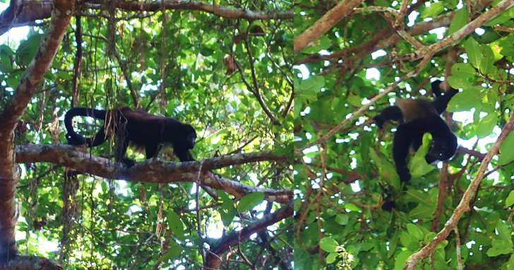 howler monkey in montezuma