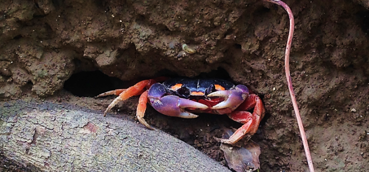 costa rica land crab