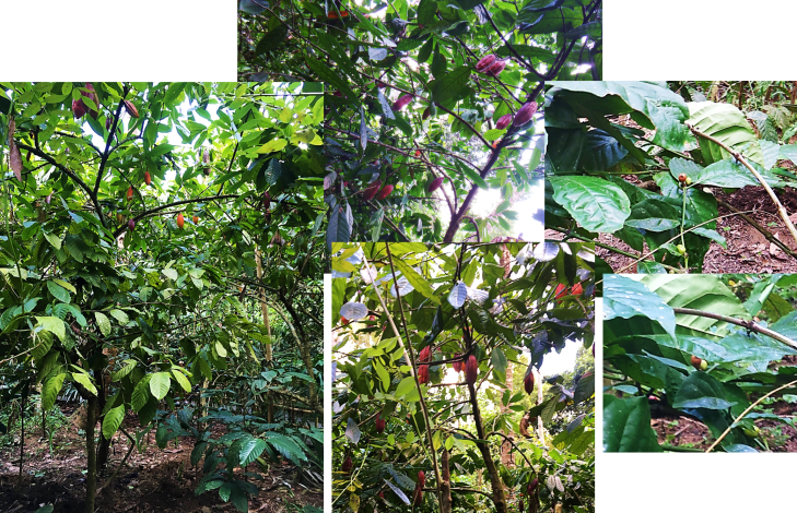 Cocoa and Coffee Plants at Luwak Plantation