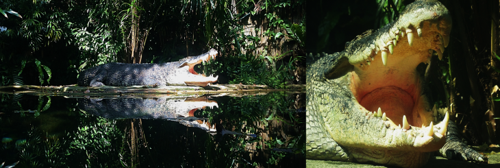 Crocodile in Singapore Zoo.png