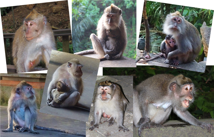 Monkeys in the ubud Monkey Forest.png