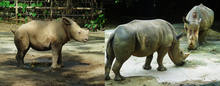 Rhinos in the Singapore Zoo