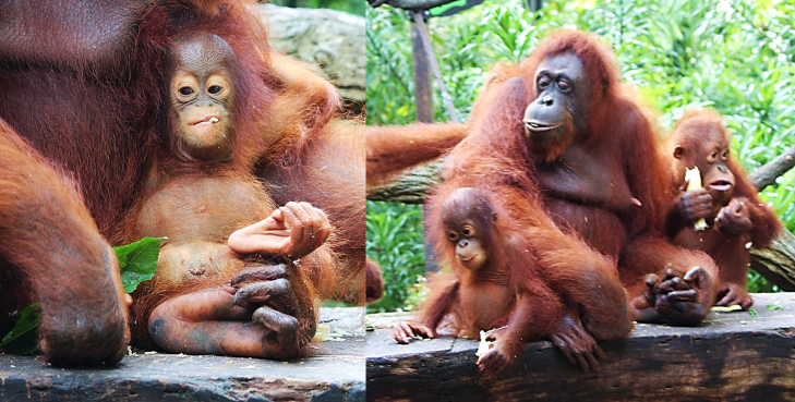 Orangutan family at the zoo