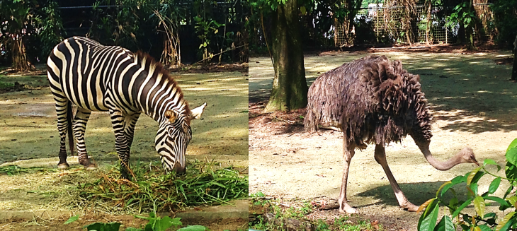 Zebra and Ostrich in Singapore