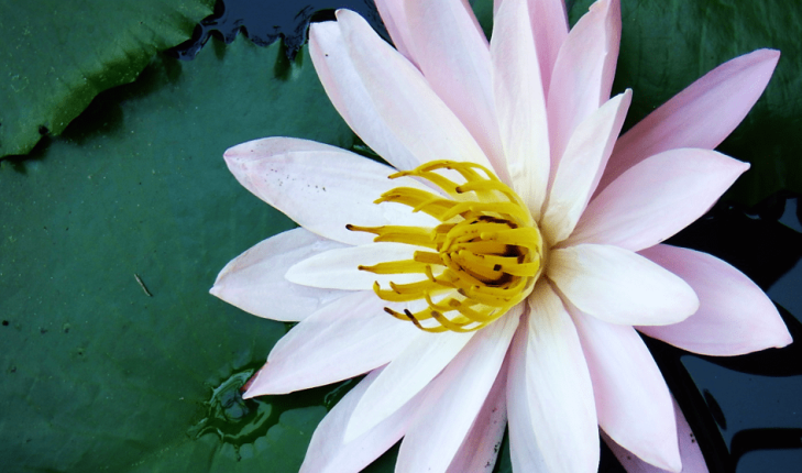 water lily in bali