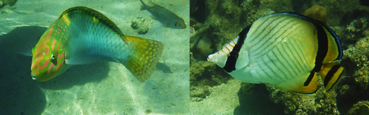 vegabond butterflyfish