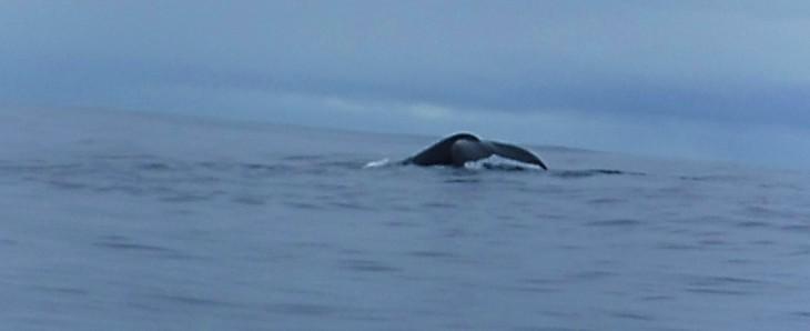 whale tale in Moorea