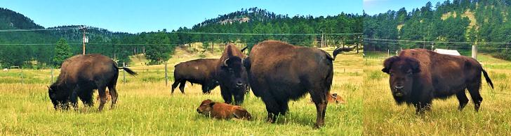 south dakota buffalo