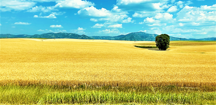 idaho wheat fields