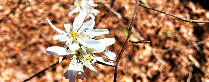 arkansas wildflowers