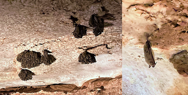 alabaster caverns bat colonies